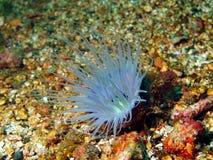 Anemones της φιλιππινέζικης θάλασσας Στοκ φωτογραφία με δικαίωμα ελεύθερης χρήσης