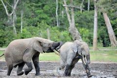Ο να επιτεθεί δασικός ελέφαντας (cyclotis africana Loxodonta Στοκ εικόνα με δικαίωμα ελεύθερης χρήσης