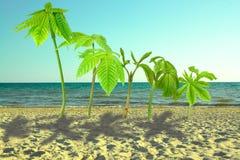Ο νεαρός βλαστός του δέντρου κάστανων είναι όπως το φοίνικα, φυτεύει στην άμμο στοκ εικόνες