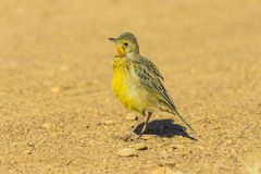 Ο νεαρός πορτοκαλής-το ακρωτήριο Longclaw Longclaw στο αμμοχάλικο στοκ φωτογραφία με δικαίωμα ελεύθερης χρήσης