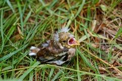 Ο νεοσσός, αρχάριος, μωρό, χλόη, έπεσε, συλλογή, φτερά, λόφος Στοκ Φωτογραφίες