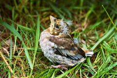 Ο νεοσσός, αρχάριος, μωρό, χλόη, έπεσε, συλλογή, φτερά, λόφος Στοκ φωτογραφίες με δικαίωμα ελεύθερης χρήσης