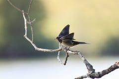 ο νεοσσός καταπίνει τη συνεδρίαση στα φτερά κλάδων που διαδίδονται και το στόμα ανοικτό στοκ εικόνες με δικαίωμα ελεύθερης χρήσης