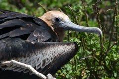Ο νεοσσός της κόκκινος-διογκωμένης φρεγάτας κάθεται στη φωλιά τα Galapagos νησιά ηξών Ισημερινός στοκ φωτογραφία με δικαίωμα ελεύθερης χρήσης