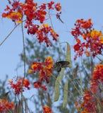 Ο νότος μουσείων ερήμων της Αριζόνα Sonora του Phoenix Αριζόνα ΗΠΑ Στοκ φωτογραφία με δικαίωμα ελεύθερης χρήσης