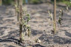 Ο ξηρός θάμνος μιας ντομάτας Οι εγκαταστάσεις μαράθηκαν από την έλλειψη νερού Παγκόσμια ξηρασία Βλαστημένο φυτό γλαστρών ξηρασία  στοκ φωτογραφία με δικαίωμα ελεύθερης χρήσης