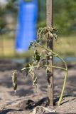 Ο ξηρός θάμνος μιας ντομάτας Οι εγκαταστάσεις μαράθηκαν από την έλλειψη νερού Παγκόσμια ξηρασία Βλαστημένο φυτό γλαστρών ξηρασία  στοκ εικόνες