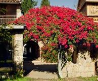 Οδοί της Κύπρου: Τριανταφυλλιά στο υπόβαθρο τυποποιημένου ενός αρχαίου Στοκ Εικόνες
