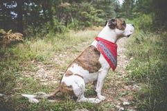 Οδοιπόρος σκυλιών Στοκ φωτογραφία με δικαίωμα ελεύθερης χρήσης