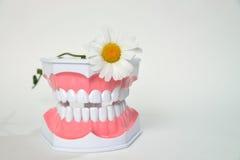 Οδοντικό λουλούδι σαγονιών και μαργαριτών, εικόνα εορτασμού ημέρας daentist Στοκ φωτογραφία με δικαίωμα ελεύθερης χρήσης