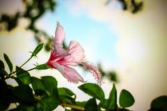 Οδοντώστε Hibiscus το λουλούδι Στοκ εικόνα με δικαίωμα ελεύθερης χρήσης