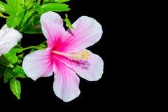 Οδοντώστε Hibiscus το λουλούδι Στοκ φωτογραφία με δικαίωμα ελεύθερης χρήσης