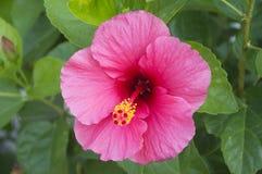 Οδοντώστε Hibiscus το λουλούδι Στοκ εικόνες με δικαίωμα ελεύθερης χρήσης