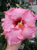Οδοντώστε Hibiscus το λουλούδι Στοκ Εικόνα
