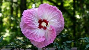 Οδοντώστε Hibiscus το λουλούδι φιλμ μικρού μήκους