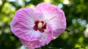 Οδοντώστε Hibiscus το λουλούδι απόθεμα βίντεο
