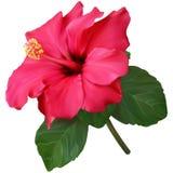 Οδοντώστε Hibiscus το λουλούδι Στοκ Εικόνες
