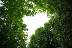 Ο ουρανός μέσω των δέντρων σφενδάμνου Στοκ Εικόνες