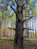 Ο ουρανός σε ένα δάσος πεύκων Στοκ Εικόνα