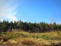 Ο ουρανός σε ένα δάσος πεύκων Στοκ εικόνες με δικαίωμα ελεύθερης χρήσης