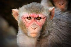 Ο ο ρήσος μακάκος Macaque Στοκ εικόνα με δικαίωμα ελεύθερης χρήσης