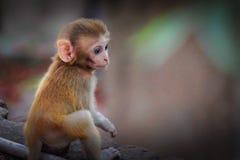 Ο ο ρήσος μακάκος Macaque Στοκ φωτογραφία με δικαίωμα ελεύθερης χρήσης