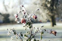 ο πάγος αυξήθηκε Στοκ φωτογραφίες με δικαίωμα ελεύθερης χρήσης