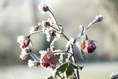 ο πάγος αυξήθηκε Στοκ Φωτογραφία
