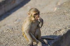 Ο πίθηκος άγριων ζώων ένα macaque στην Ινδία Στοκ φωτογραφία με δικαίωμα ελεύθερης χρήσης