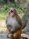 Ο πίθηκος έδωσε ένα μεγάλο χασμουρητό στοκ εικόνες με δικαίωμα ελεύθερης χρήσης