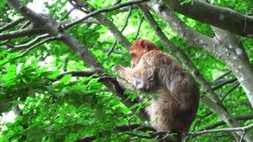 Ο πίθηκος Βαρβαρίας τρώει τη σαλάτα στο δέντρο απόθεμα βίντεο