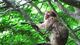 Ο πίθηκος Βαρβαρίας τρώει τη σαλάτα στο δέντρο φιλμ μικρού μήκους