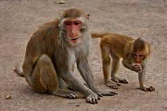 Ο πίθηκος, είναι το θηλαστικό στοκ εικόνες
