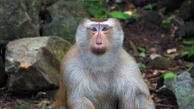 Ο πίθηκος εξετάζει τη κάμερα και γύρω πορτρέτο και συγκινήσεις ενός πιθήκου απόθεμα βίντεο