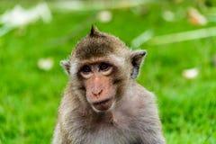 Ο πίθηκος εξετάζει τον τουρίστα σε Pra Prang Sam Yod, Lopburi Ταϊλάνδη Στοκ Φωτογραφίες