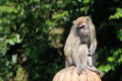 Ο πίθηκος θέτει Στοκ Εικόνες