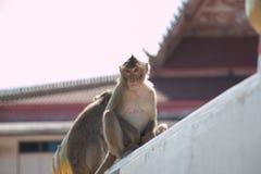 Ο πίθηκος κάθεται στο ναό, η μεγάλη ομάδα πιθήκων ζει στο ναό και το δάσος στην Ταϊλάνδη Στοκ Εικόνες