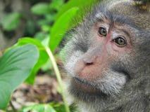 Ο πίθηκος κοιτάζει επίμονα Στοκ εικόνες με δικαίωμα ελεύθερης χρήσης
