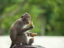 Ο πίθηκος κρατά τρεις μπανάνες Στοκ Φωτογραφίες