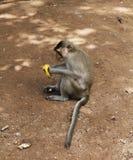 Ο πίθηκος με την μπανάνα Στοκ Εικόνες