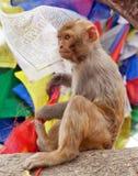 Ο πίθηκος με την προσευχή σημαιοστολίζει κοντά swayambhunath στο stupa, Νεπάλ Στοκ Φωτογραφία