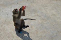 Ο πίθηκος πίνει το νερό Στοκ Εικόνες