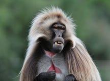 Ο πίθηκος περίεργος κοιτάζει στοκ εικόνα με δικαίωμα ελεύθερης χρήσης