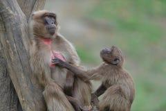 Ο πίθηκος περίεργος κοιτάζει στοκ φωτογραφίες με δικαίωμα ελεύθερης χρήσης
