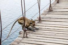 Ο πίθηκος περπατά στη γέφυρα αναστολής Στοκ Φωτογραφία