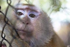 Ο πίθηκος που είναι κλειδωμένος στο κλουβί στοκ εικόνα με δικαίωμα ελεύθερης χρήσης