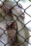 Ο πίθηκος που είναι κλειδωμένος στο κλουβί στοκ φωτογραφίες