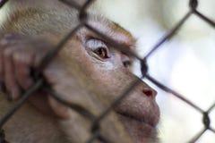 Ο πίθηκος που είναι κλειδωμένος στο κλουβί στοκ φωτογραφία