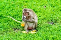 Ο πίθηκος προσπαθεί να πιει το χυμό από πορτοκάλι, Lopburi Ταϊλάνδη Στοκ Εικόνα