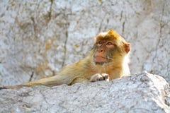 Ο πίθηκος στηρίζεται στους βράχους Στοκ φωτογραφία με δικαίωμα ελεύθερης χρήσης